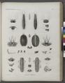 Zoologie. Annélides. Polynoés, Hésiones (NYPL b14212718-1268547).tiff