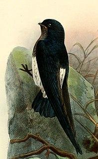 São Tomé spinetail Species of bird