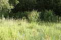 Zuidelijke Glazenmakers ♂ 13-7-2018 Bospolder Ekeren (4).jpg