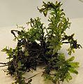 Zz Plagiomnium undulatum plant 1.jpg