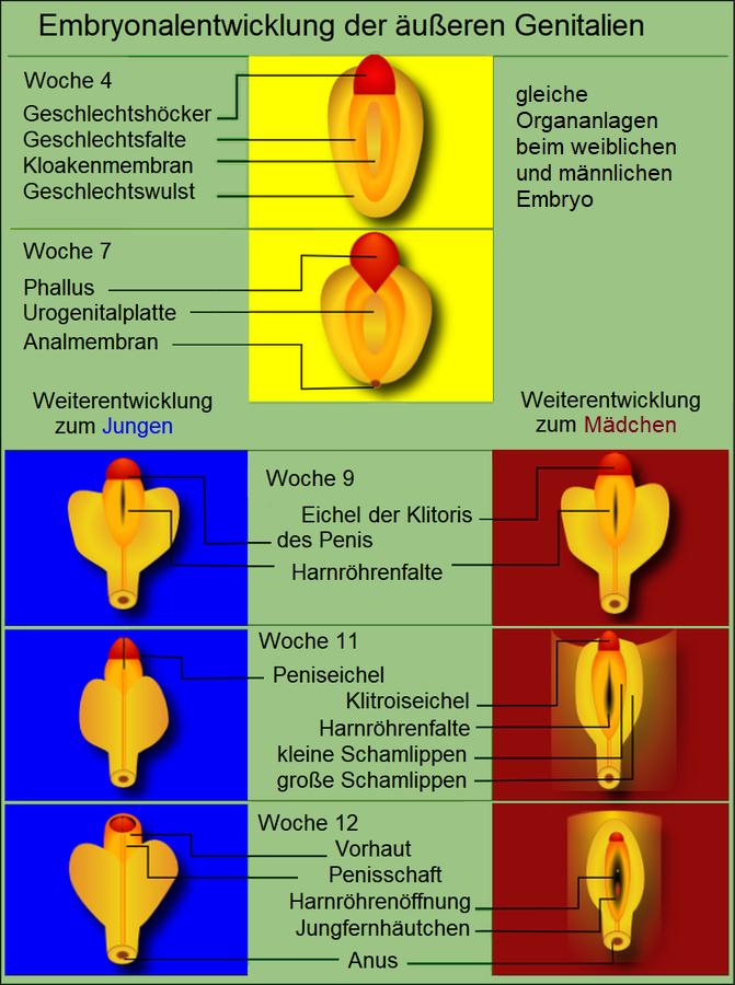 Geschlechtsorgan – Wikipedia
