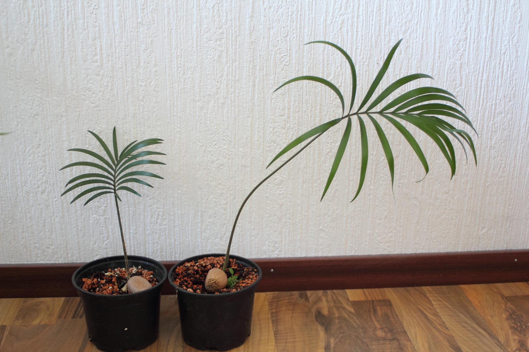 Vergeilter Palmfarn.JPG