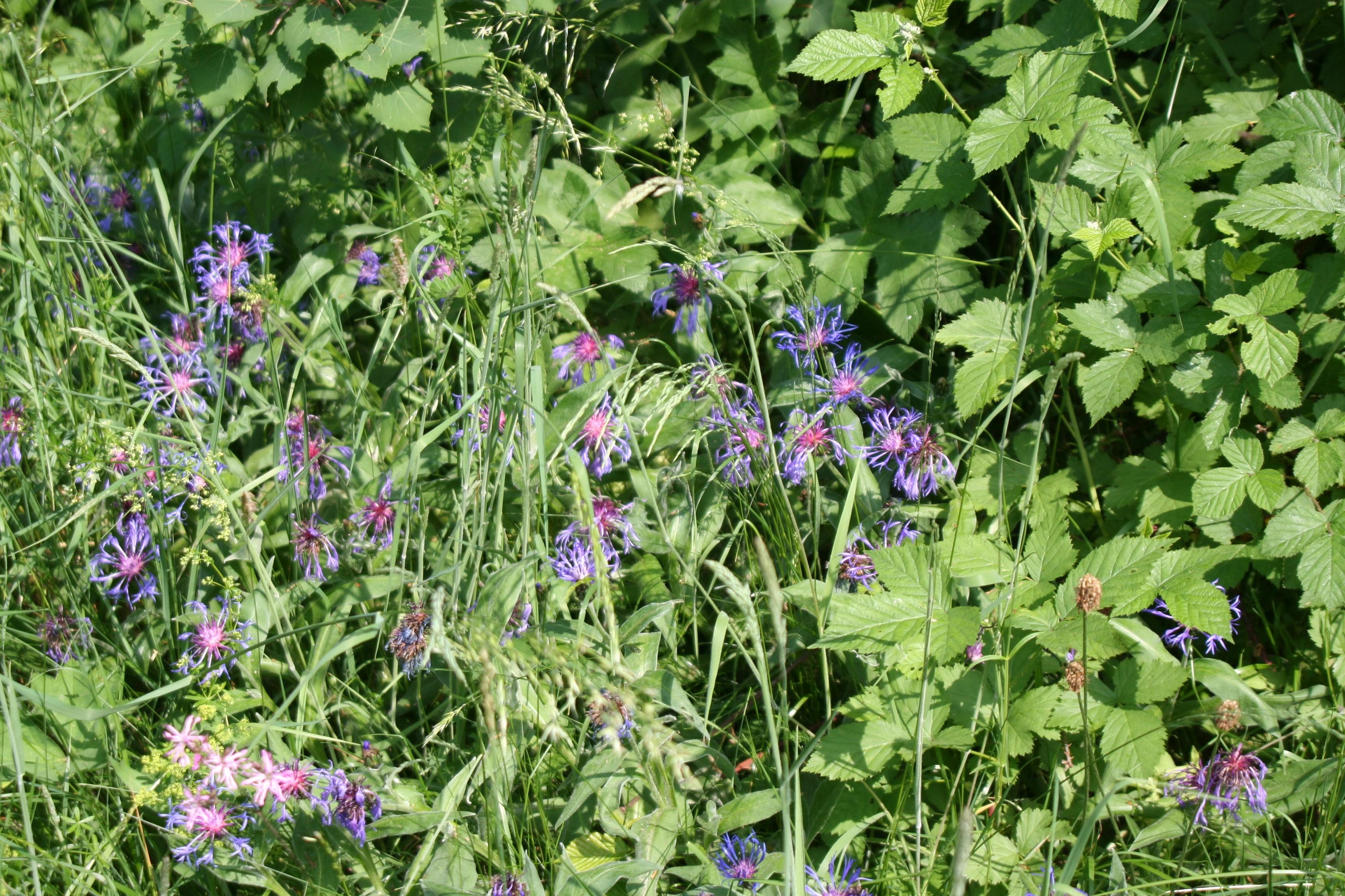Datei:Blume zwecks Bestimmung 1882.jpg – Wikipedia