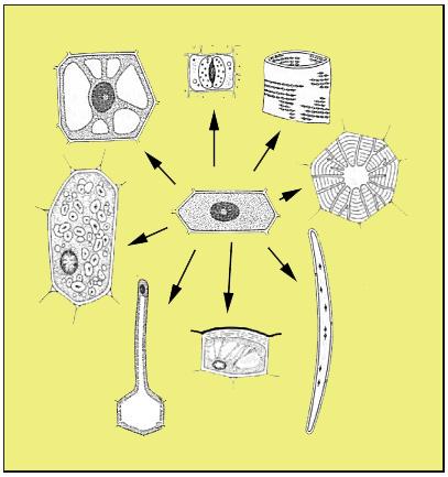 Datei:Pflanzliche-Zelltypen.png – Wikipedia