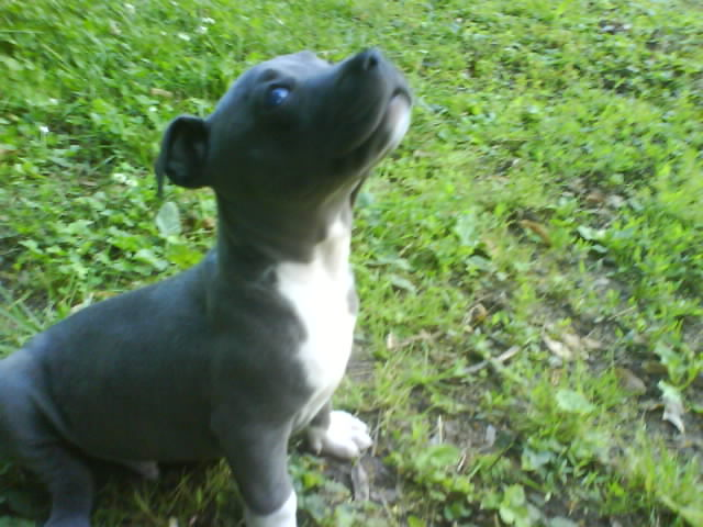 Blue merle catahoula bulldog