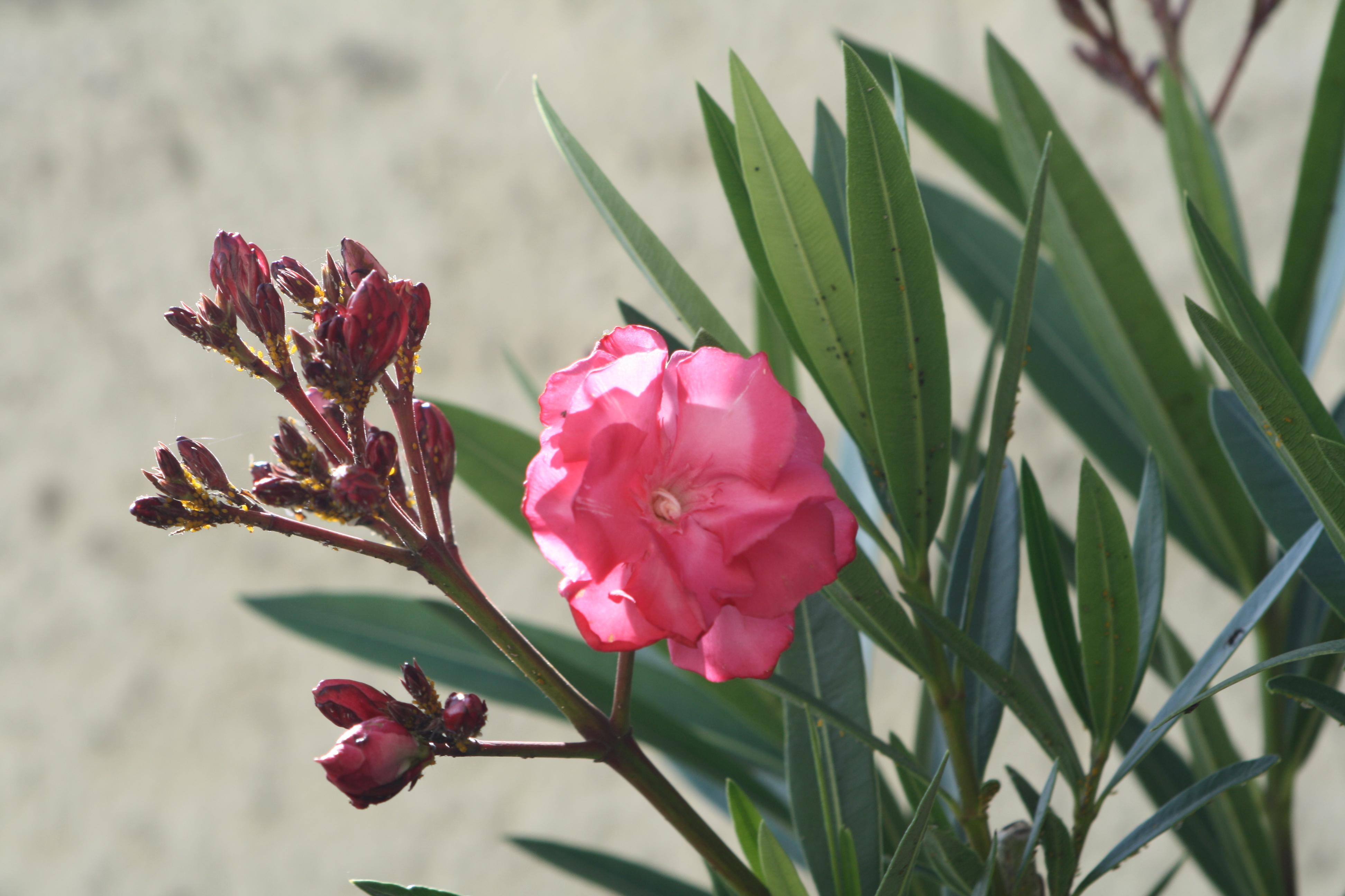 Datei:Unbekannte rote Blume.JPG – Wikipedia