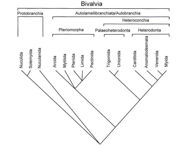 Cladogram of large groups of mussels (Bivalvia) (based on Bieler & Mikkelsen; 2006)
