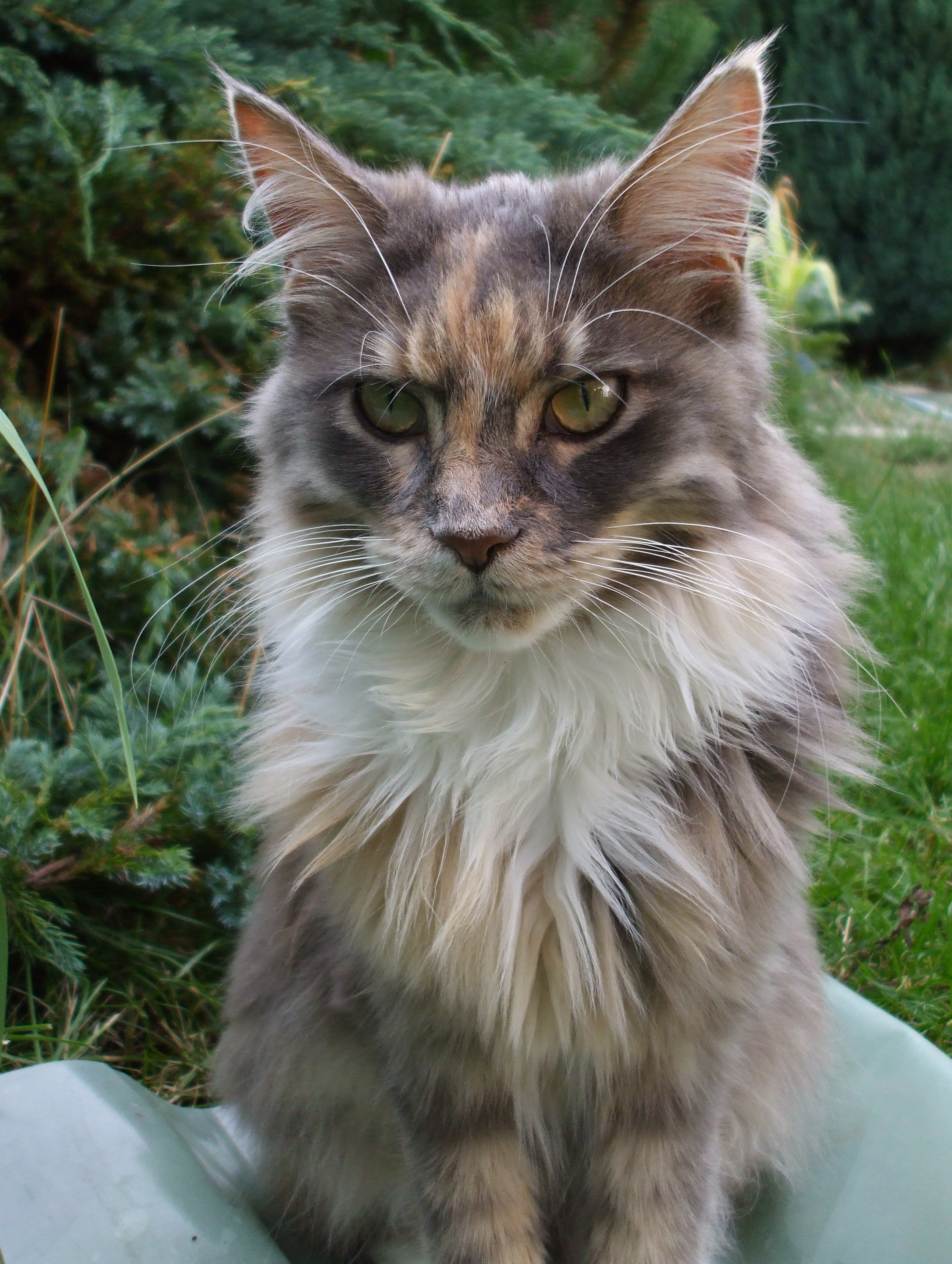 Maine Coon Cat Rescue Usa