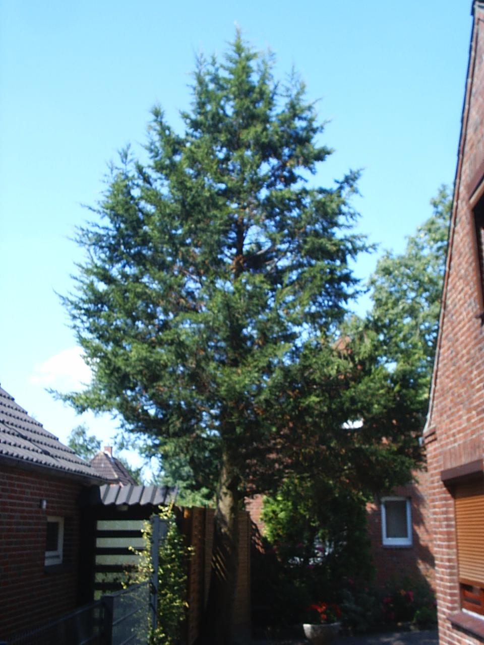 Sawara-Scheinzypresse (Chamaecyparis pisifera) - Habitus I.jpg