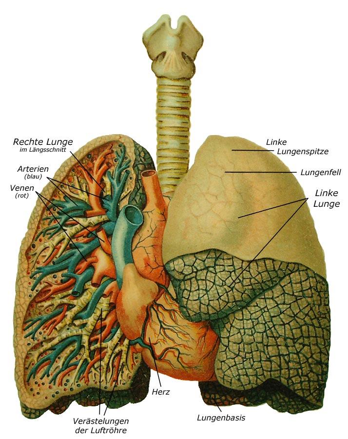 Datei:Lunge.jpg – Wikipedia