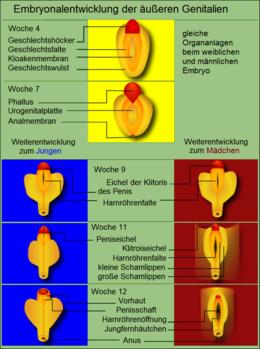 Geschlechtsorgan Wikipedia
