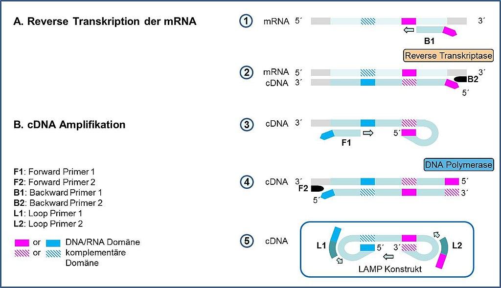 Gemütlich DNA Transkription Arbeitsblatt Galerie - Arbeitsblätter ...