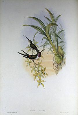 Atacama Hummingbird at John Gould painted by Henry Constantine Richter