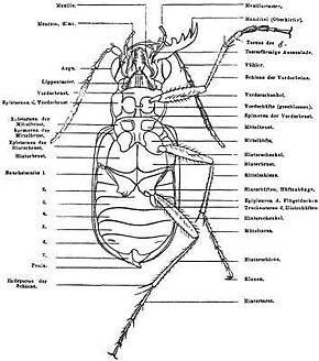 Insektenbein – Wikipedia