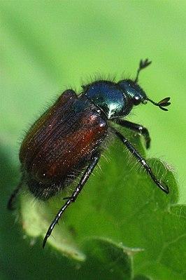 Garden beetle (Phyllopertha horticola)