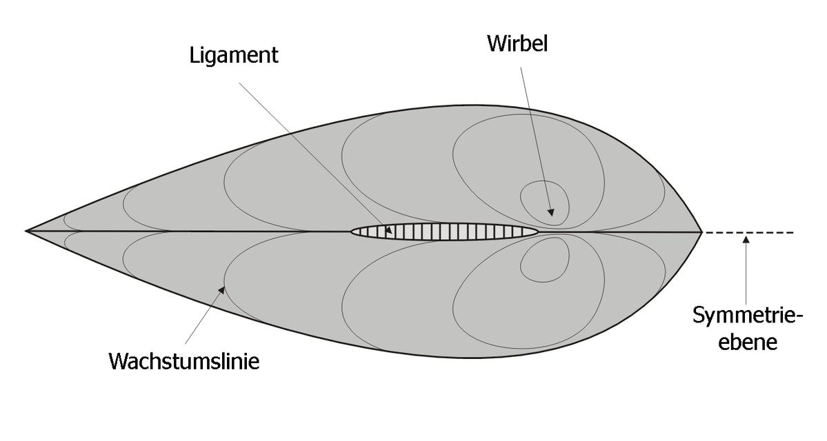 Muschel Aufbau