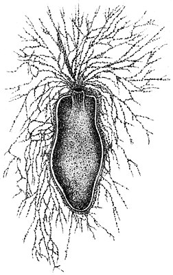 Gromia oviformis, Illustration