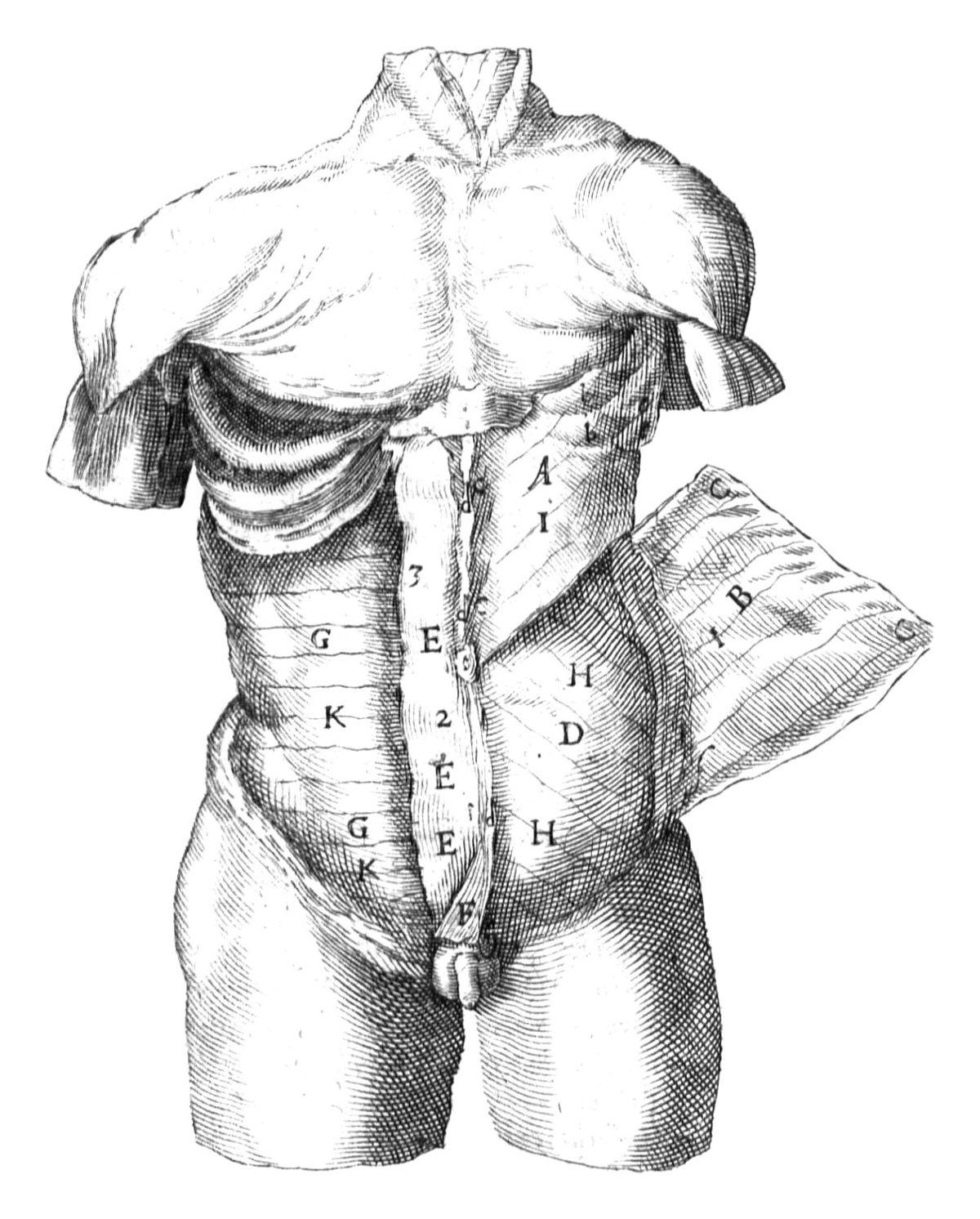 Bauchmuskulatur – Wikipedia