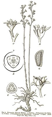 Petrosavia sakuraii, Illustration