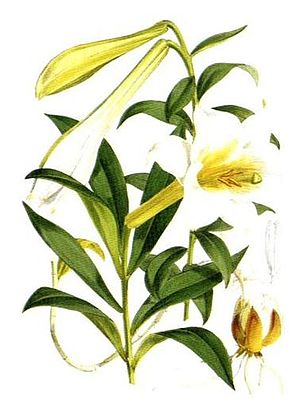 Lilium wallichianum var. neilgherrense, Illustration