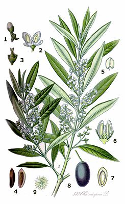 """Olea europaea – Illustrationaus """"Köhler's Medicinalpflanzen"""" von 1887. A: Blühender Zweig 1: Geschlossene Blüte = Blütenknospe 2: Staubblätter, Vorder- und Rückseite in geöffneter Blüte 3: Blütenstempel in Blüte ohne Blütenhüllblätter 4: Olivenkern = Same der Steinfrucht, rechts Längsschnitt 5: Staubblatt 6: Blüte und Fruchtknoten: Längsschnitt 7: Olive im Querschnitt, Fruchtfleisch und Samen darstellend 8: Steinfrucht (Olive) 9: Sternhaar"""
