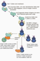 T cell activation-Deutsch hgrau.png