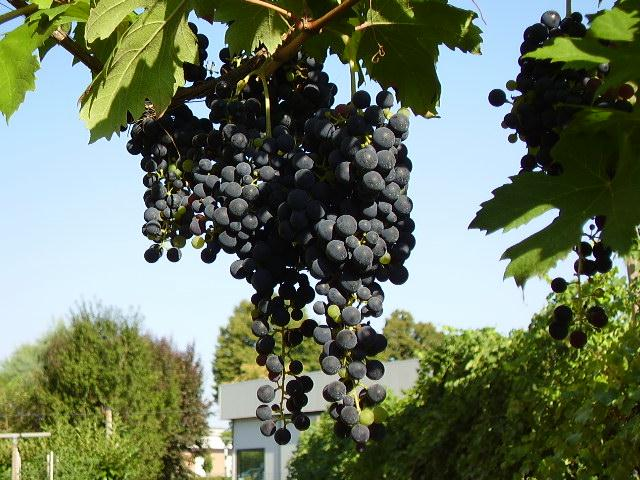 Grappolo di lambrusco