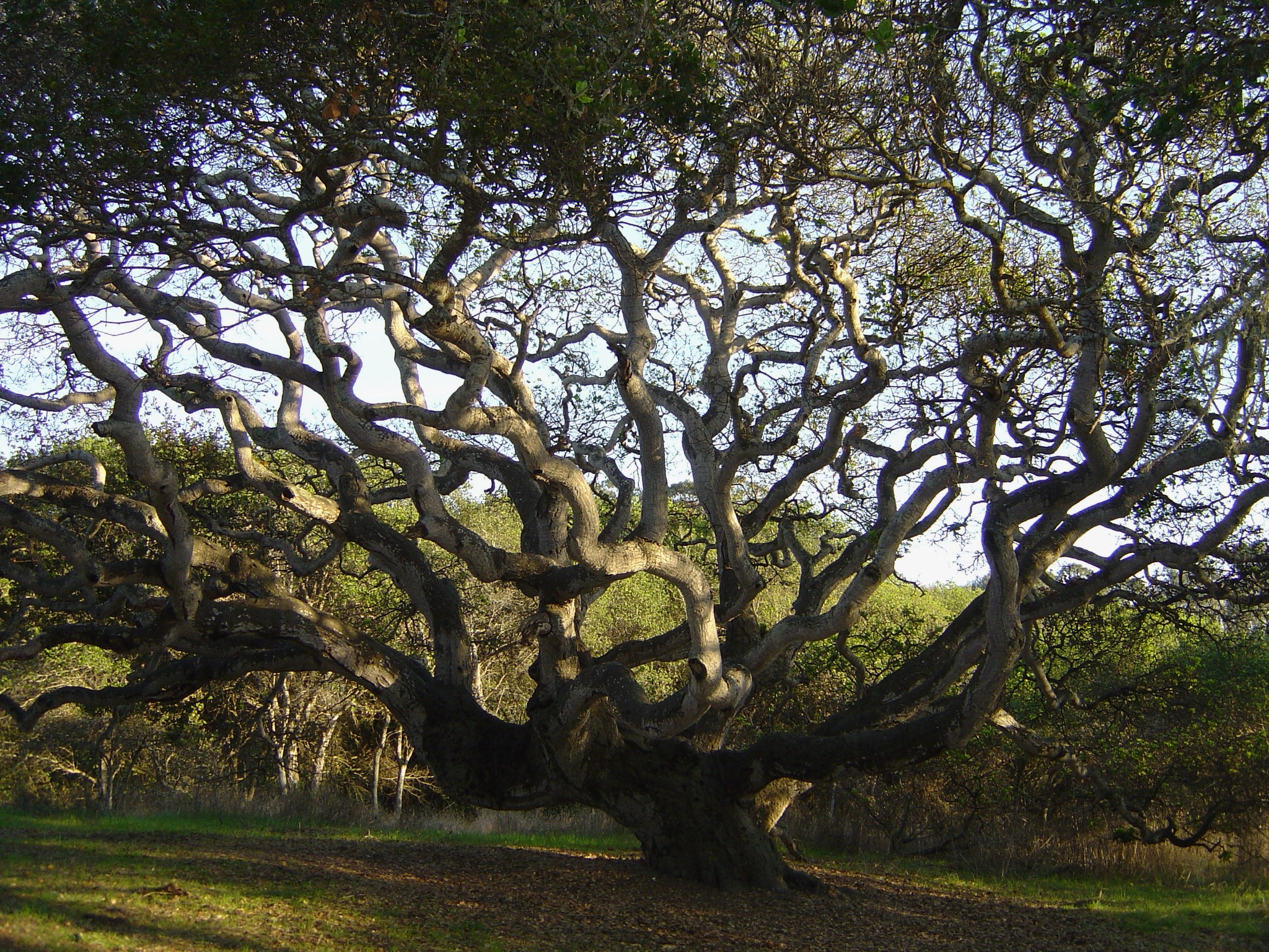Live Oak Tree, Live Oak, CA