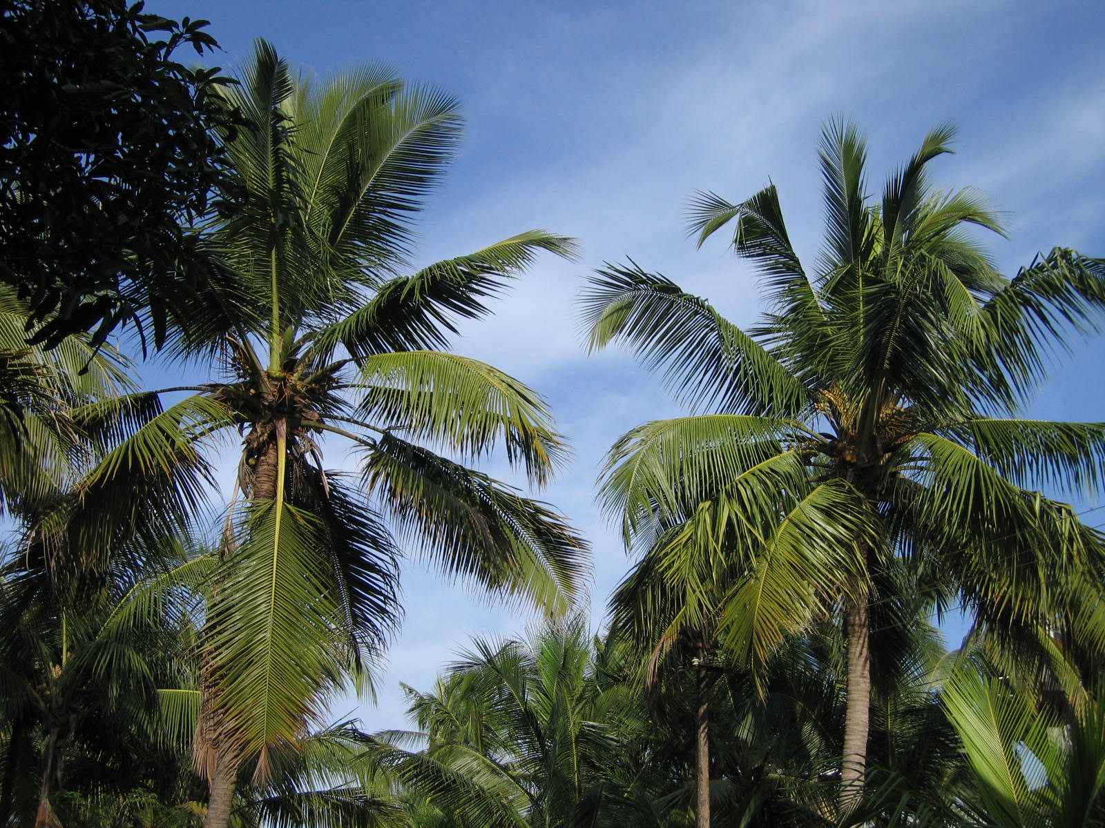 File:Coconut Tree in Kerala.jpg - Wikipedia