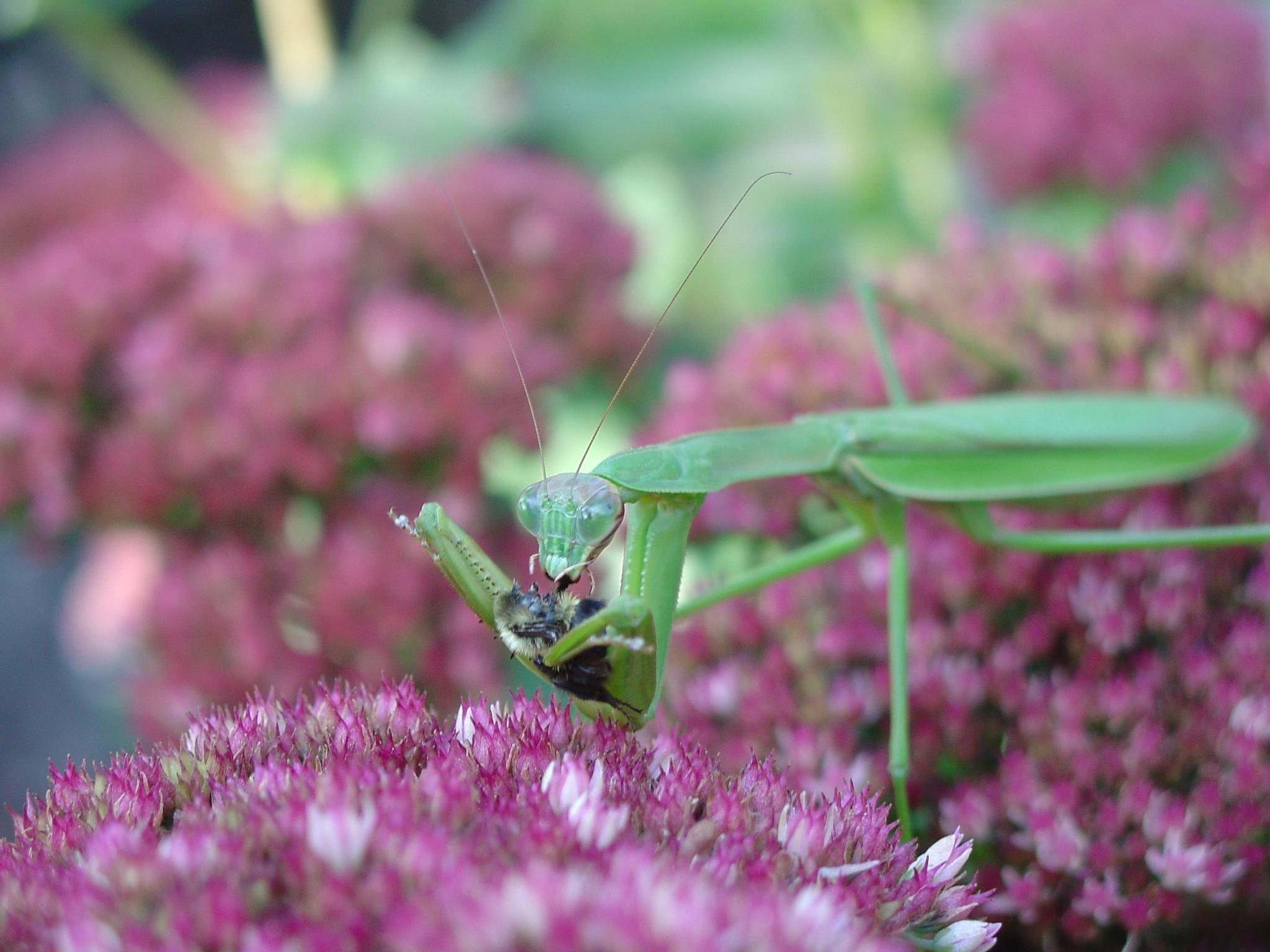 Filemanny The Praying Mantis 006g Wikipedia