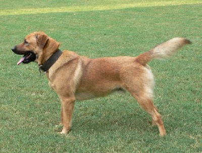 File:Mixed breed Chow and German Shepherd.jpg - Wikipedia