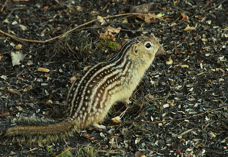 texas ground squirrel control