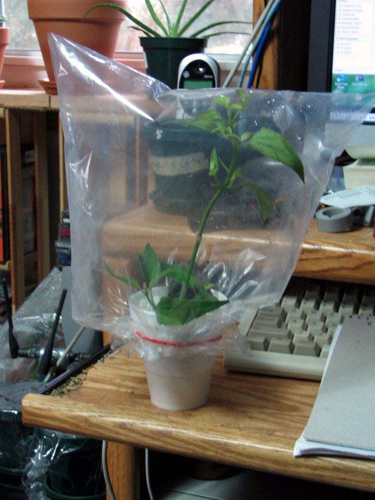 List Of Psychoactive Plants Wikipedia