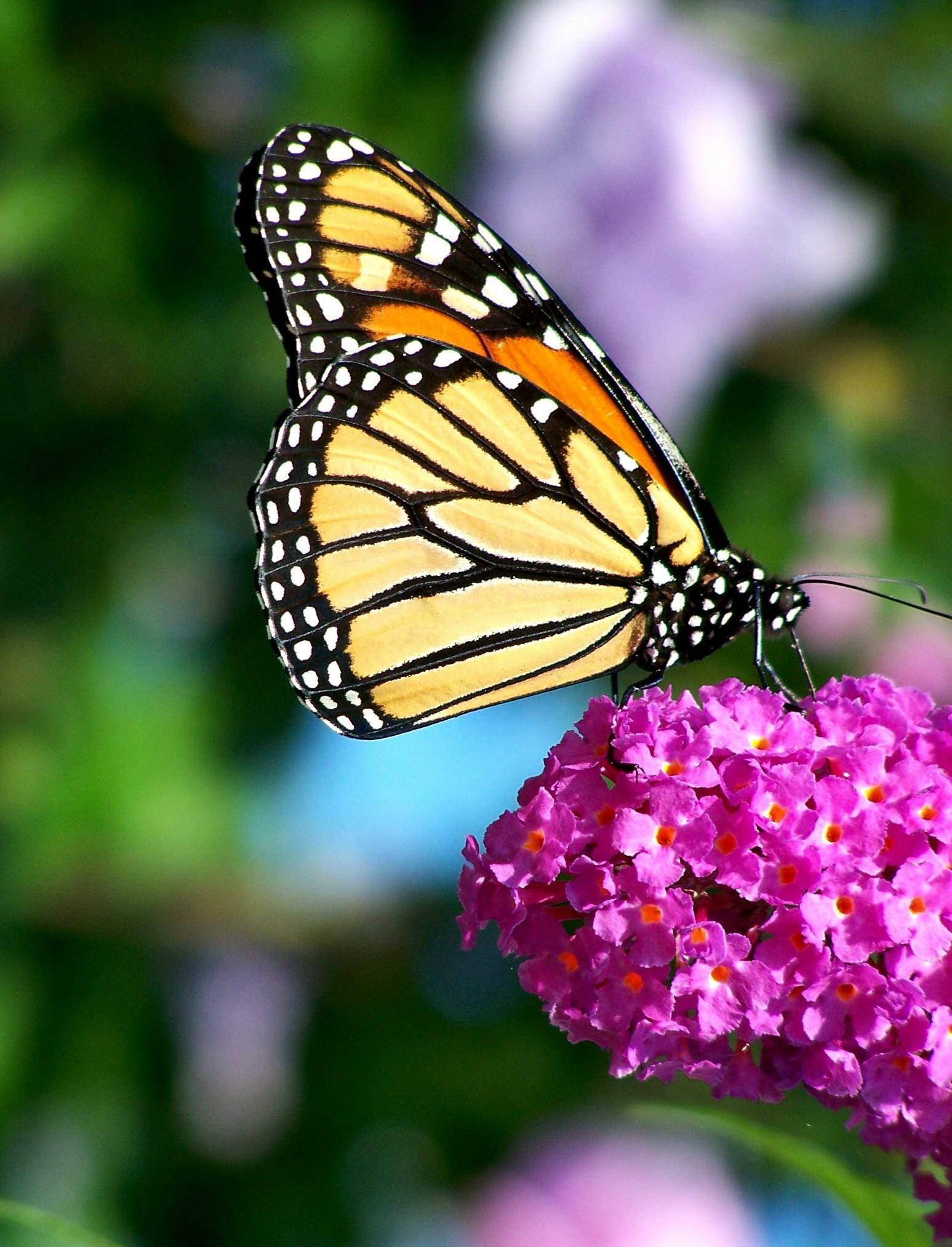 filemonarch butterfly flowerjpg wikipedia