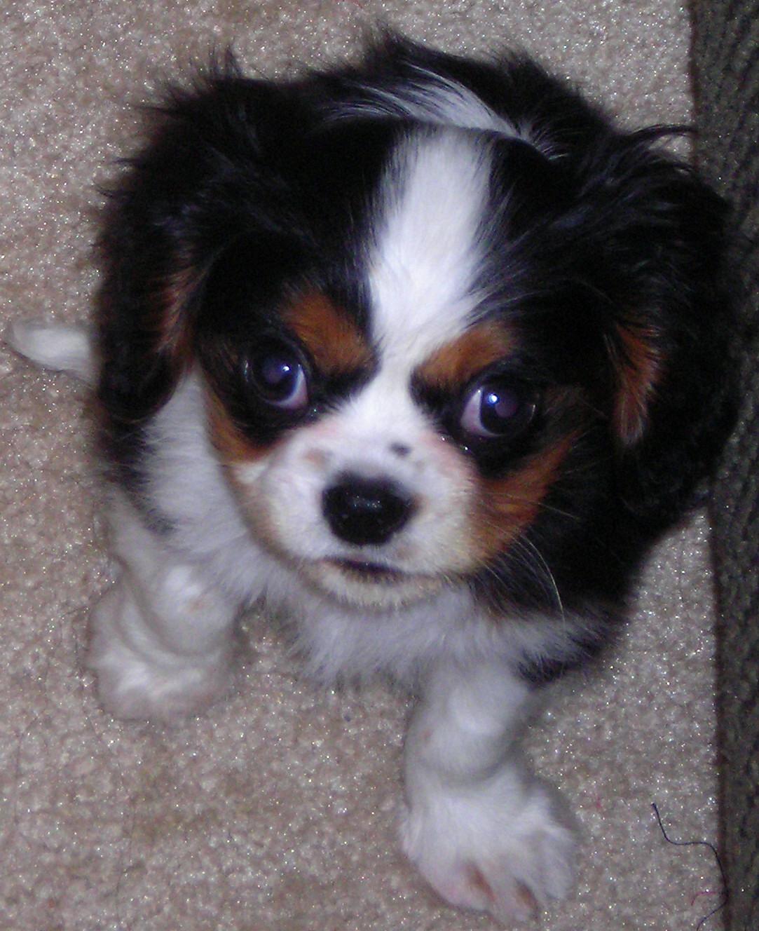 File Cavalier King Charles Spaniel Puppy Jpg Wikipedia