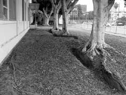 The ficus trees after the cement was removed and before pruning.
