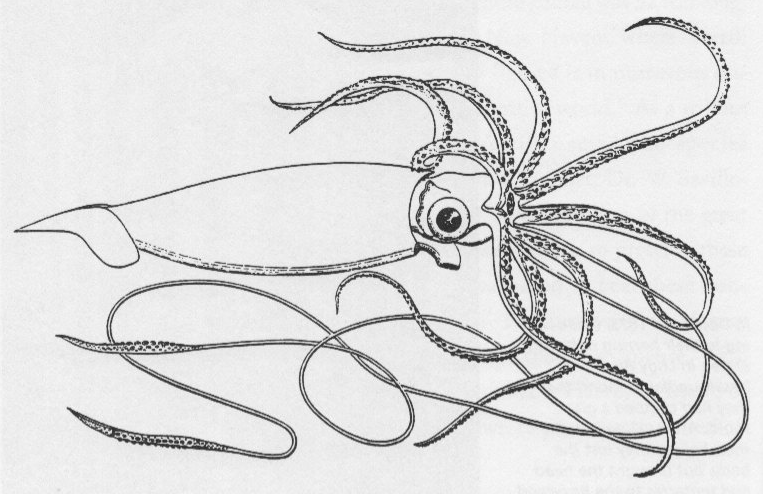 giant squid coloring pages - photo#6