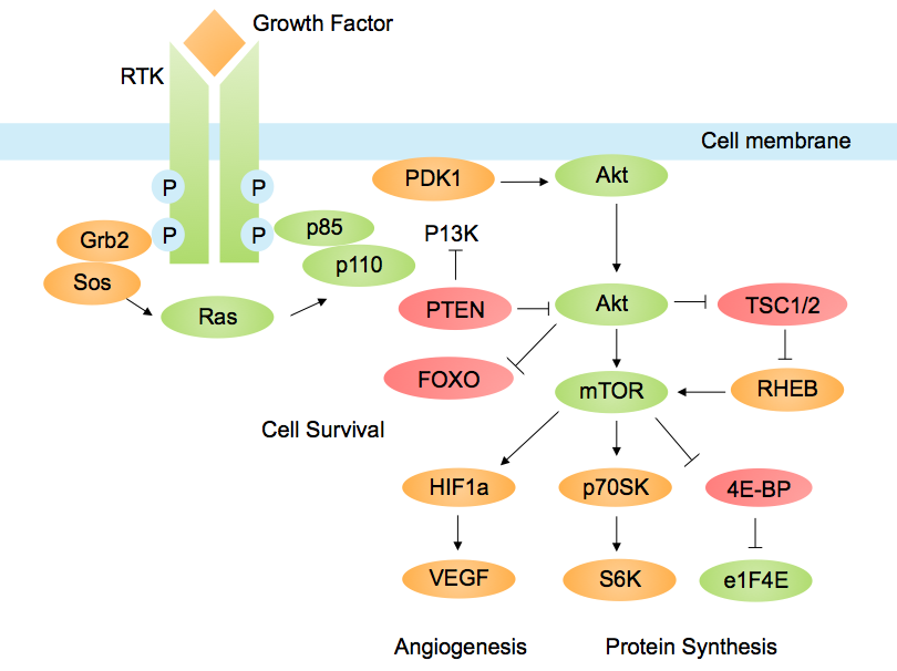 Akt/PKB signaling pathway - Wikipedia, the free encyclopedia