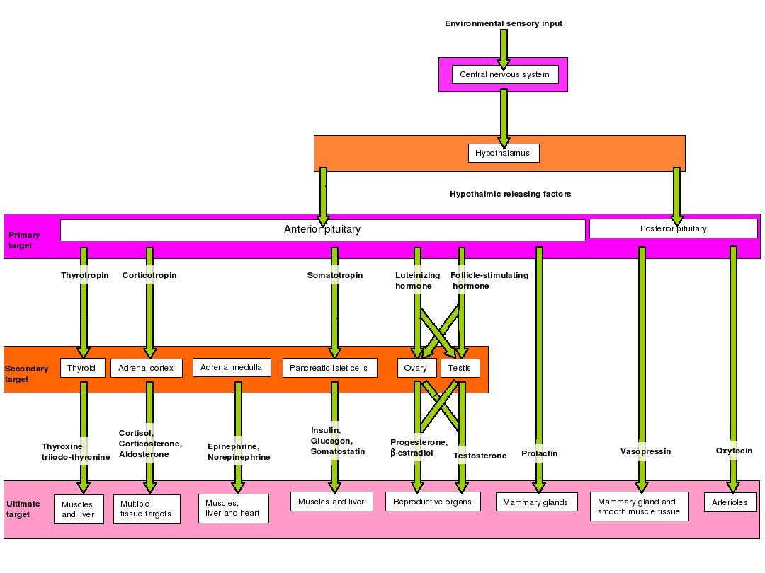 Filehormone Hierarchyeg Wikipedia