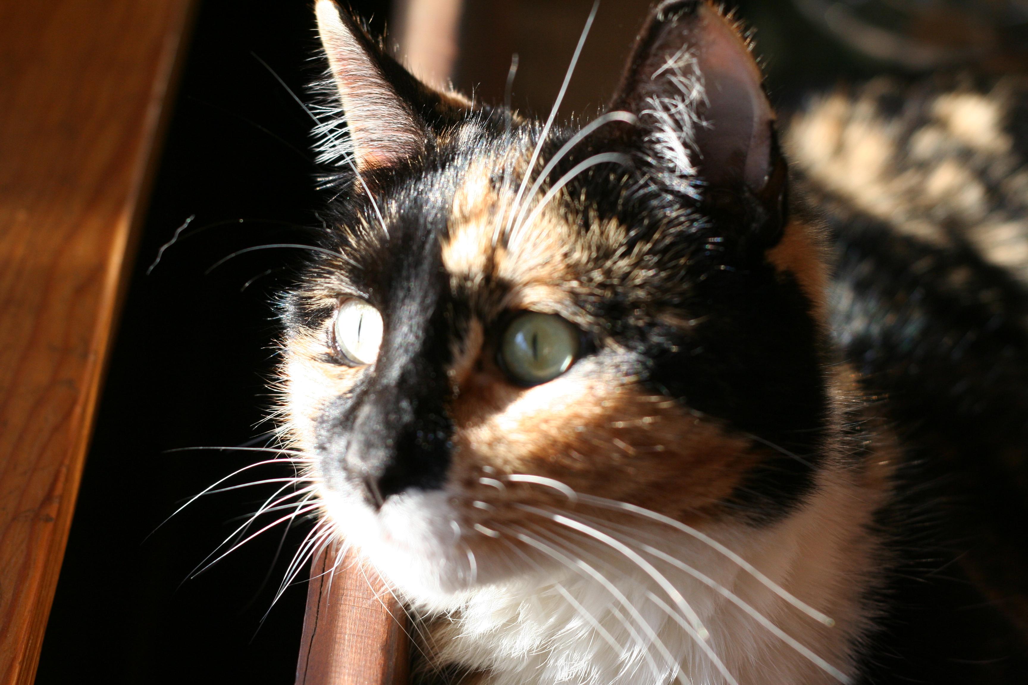 filetortoiseshell cat facejpg wikipedia