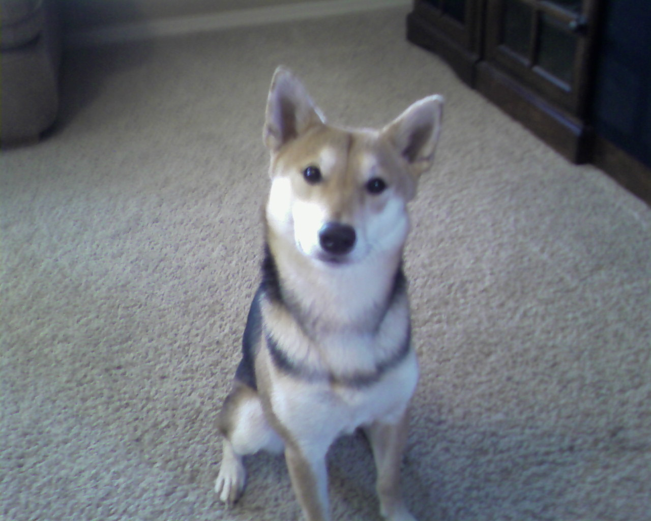 File:Red and Black Shiba Inu.