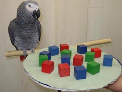 Alex the Parrot with blocks