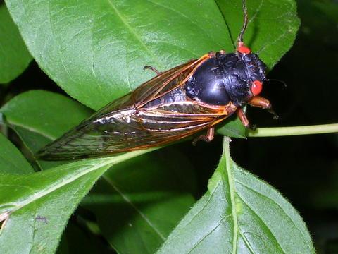 File:Brood X Cicada 2004.jpg