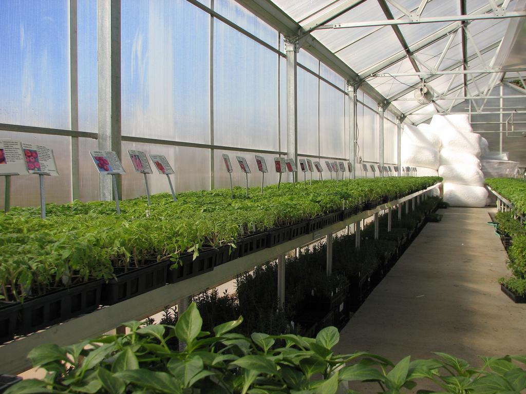Hirtu0027s Gardens Sells Heirloom Tomato Seedlings