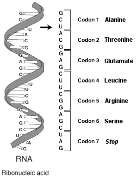 file rna-codons-protein png