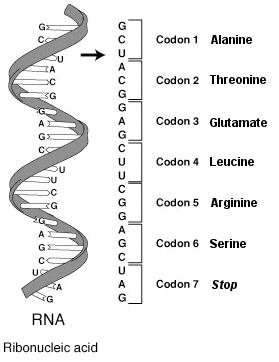 Schematic diagram of a single-stranded RNA mol...