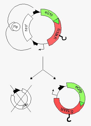 Minicircle - Wikipedia