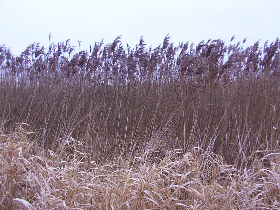 Wikipedia featured picture candidates tall grasses in the for Very tall ornamental grasses