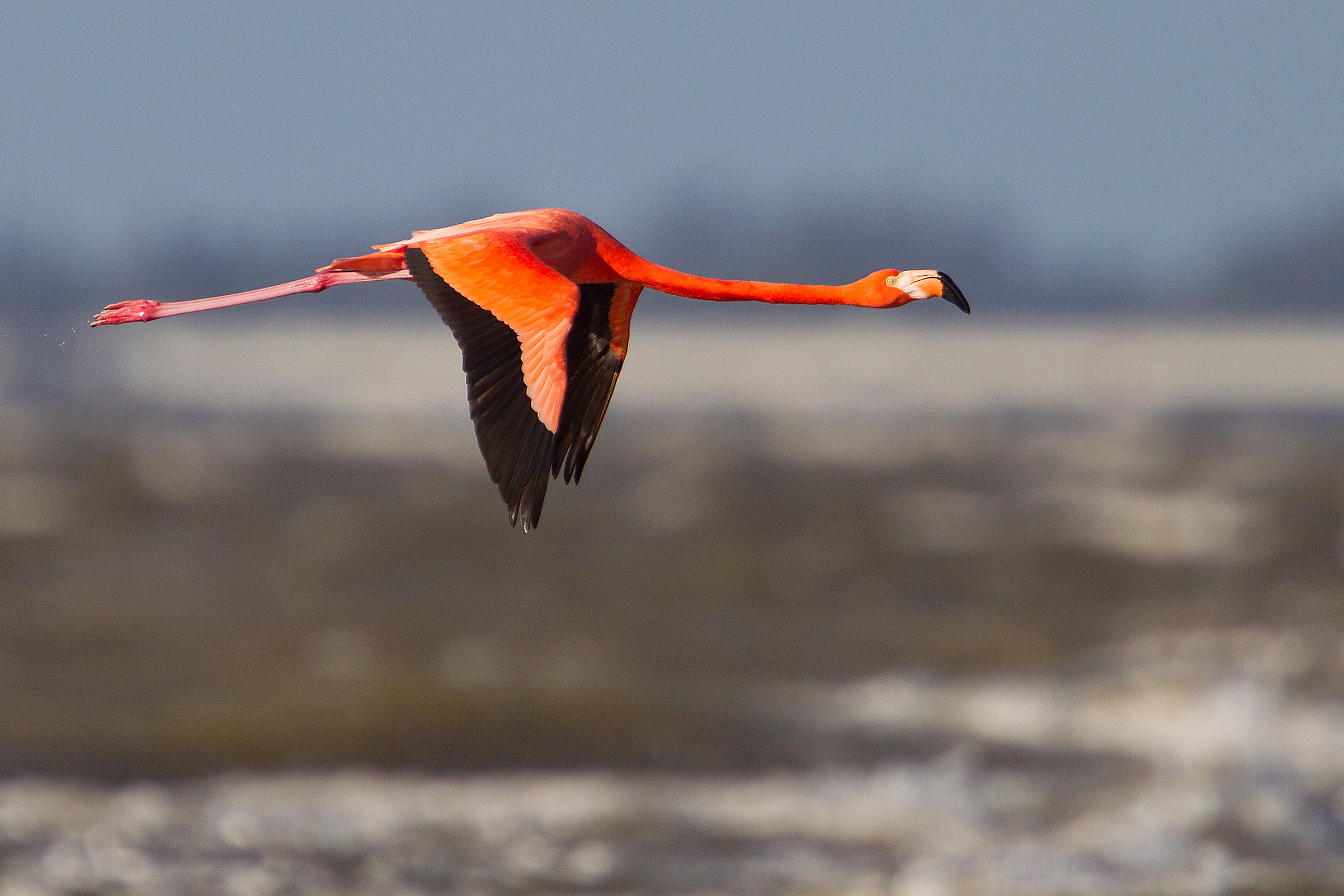 Greater Flamingo Phoenicopterus ruber flying low over lake