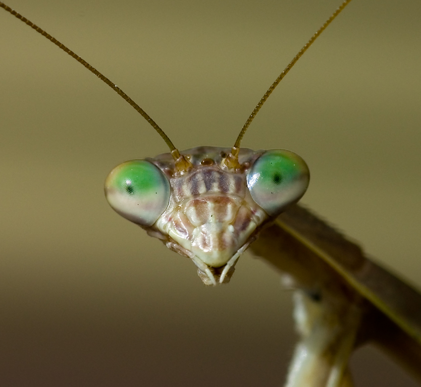 Face_of_Praying_Mantis.jpg